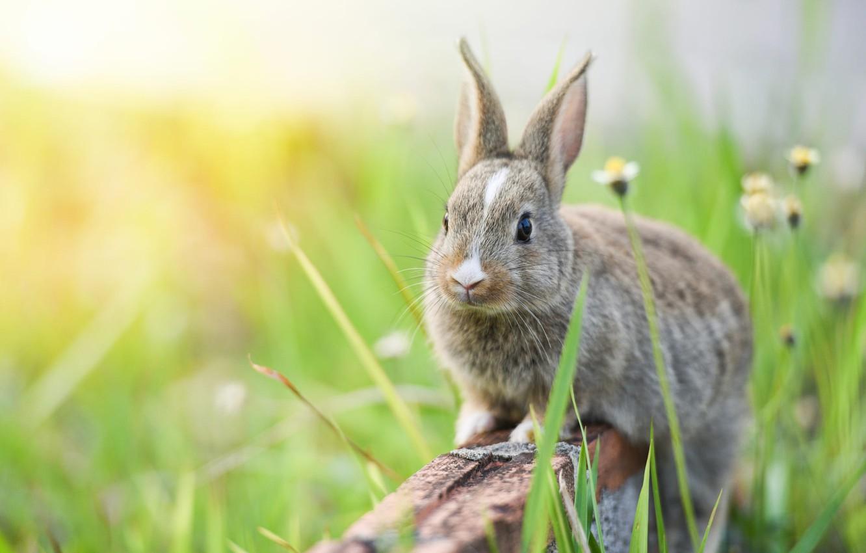 Photo wallpaper grass, look, flowers, nature, grey, background, hare, chamomile, rabbit, muzzle, bricks, Bunny, rabbit, hare