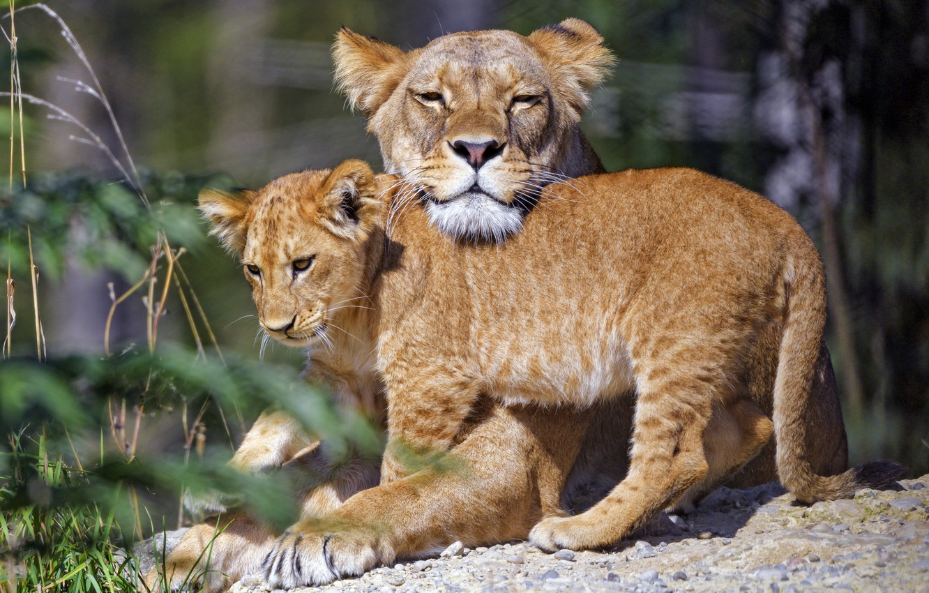 Photo wallpaper face, pose, stones, weasel, a couple, lioness, mom, lion