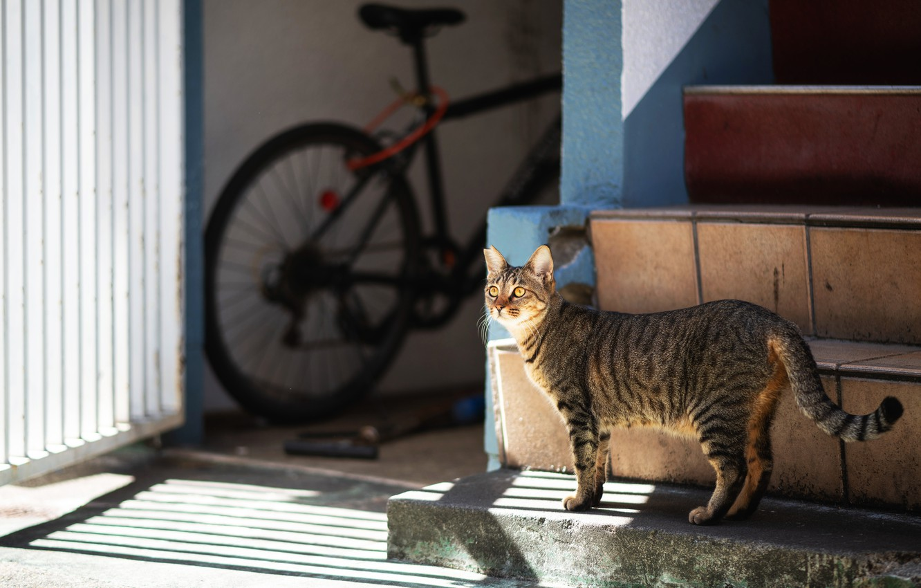 Photo wallpaper cat, cat, light, bike, house, grey, yard, ladder, stage, shadows, walk, striped