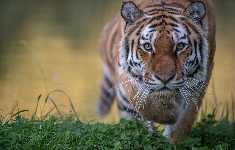 Photo wallpaper grass, look, face, tiger, wild cat