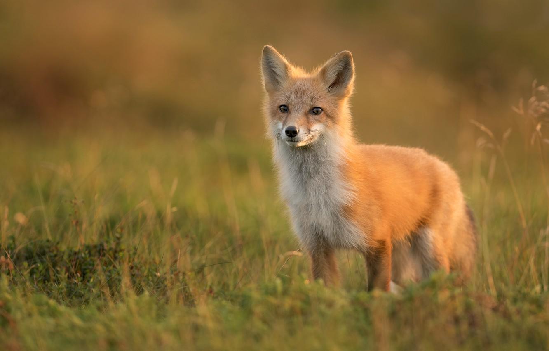 Photo wallpaper grass, Fox, red