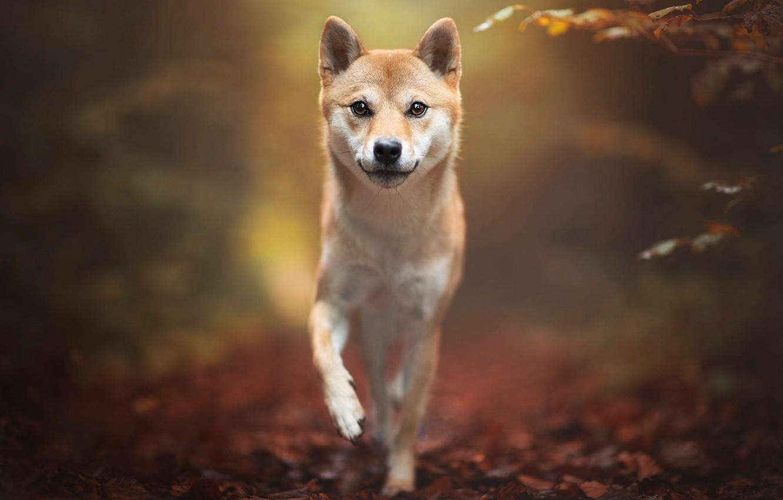 Wallpaper Autumn Look Leaves Nature Pose Background Dog Walk Shiba Inu Shiba Images For Desktop Section Sobaki Download