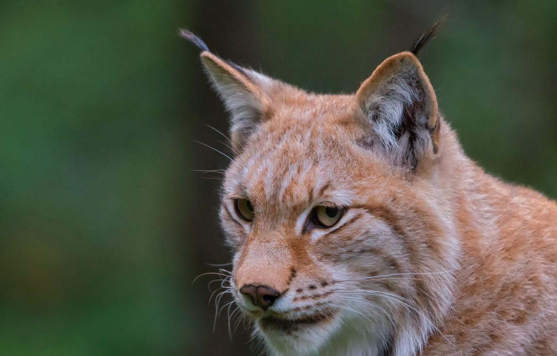 Photo wallpaper look, face, background, portrait, lynx, wild cat