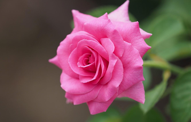 Photo wallpaper macro, pink, rose, petals, bokeh, bright