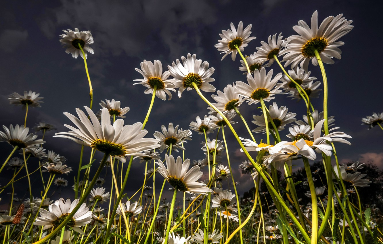 Photo wallpaper field, summer, the sky, clouds, light, flowers, stems, glade, chamomile, the evening, petals, meadow, white, …