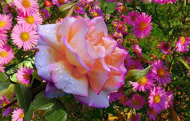 Photo wallpaper autumn, Rosa, Roses, September