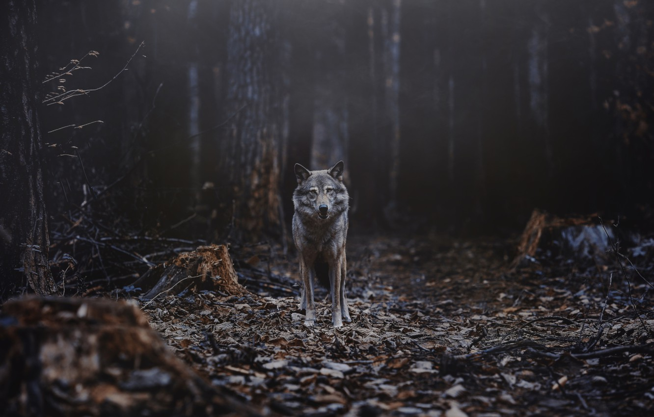 Photo wallpaper forest, wolf, predator