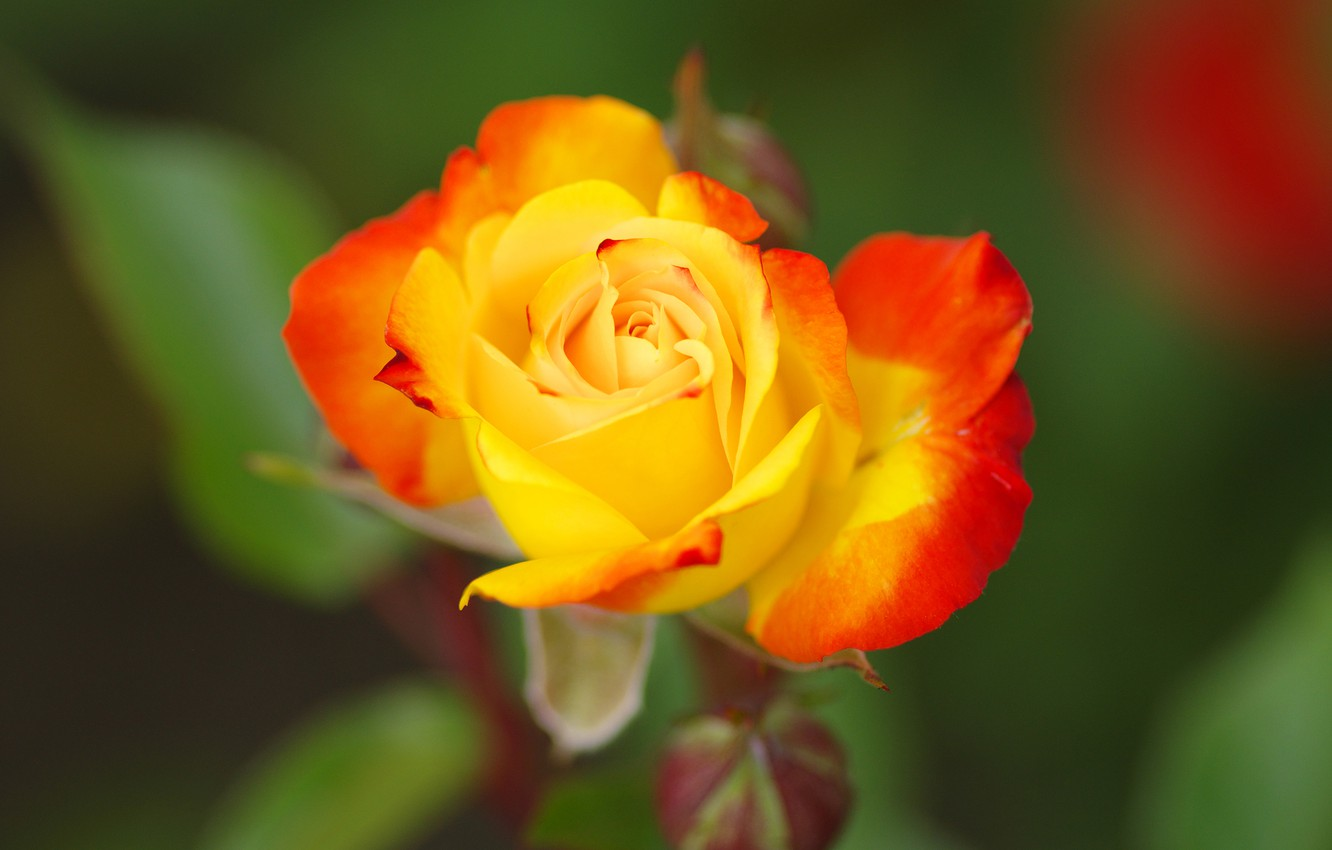 Photo wallpaper flower, green, background, rose, Bud, yellow, red