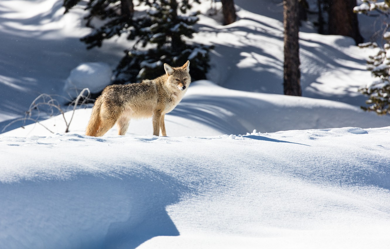 Photo wallpaper winter, forest, snow, nature, wolf, predator, the snow