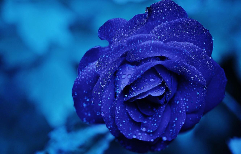 Photo wallpaper flower, water, drops, macro, blue, rose