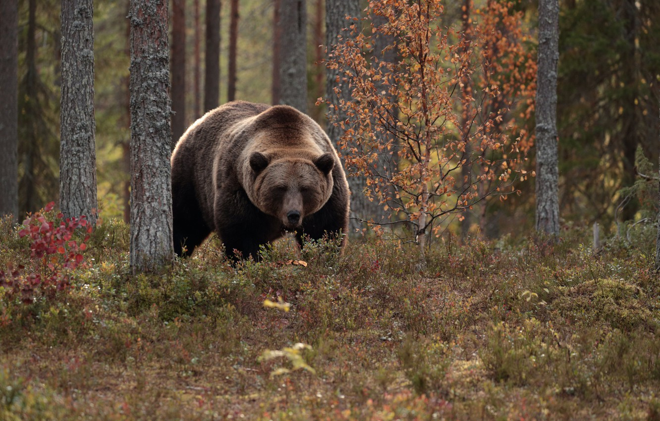 Photo wallpaper autumn, forest, trees, bear, the Bruins