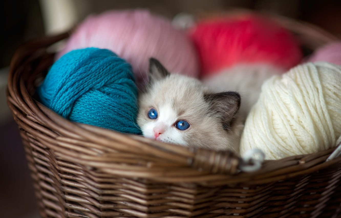Photo wallpaper cat, look, kitty, basket, colored, baby, muzzle, kitty, blue eyes, thread, basket, colorful, balls, Peeps, …