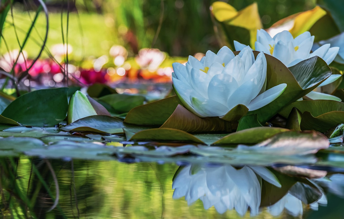 Photo wallpaper leaves, water, light, flowers, lake, pond, reflection, two, petals, white, Duo, water lilies, pond, bokeh, …