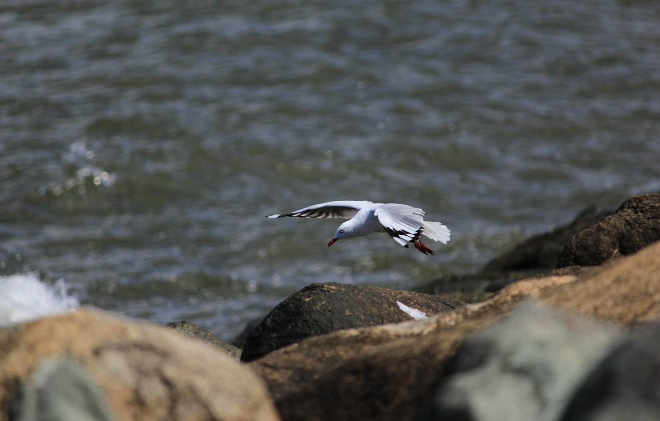 Photo wallpaper sea, water, stones, bird, Seagull, flight, boulders