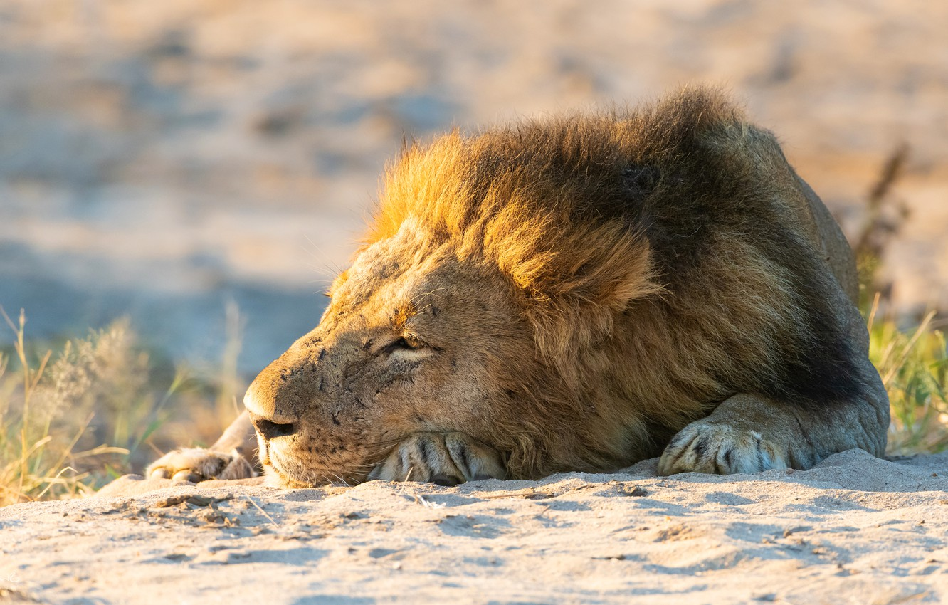 Photo wallpaper sand, face, stay, Leo, paws, mane, lies