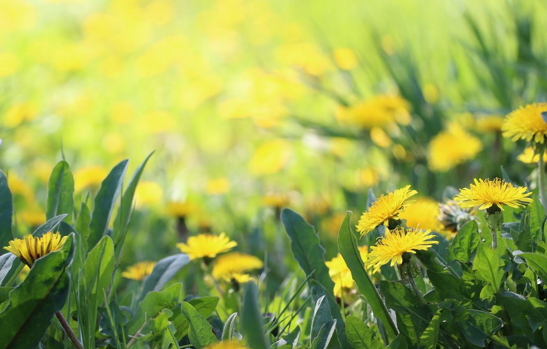 Photo wallpaper background, spring, weed, dandelions