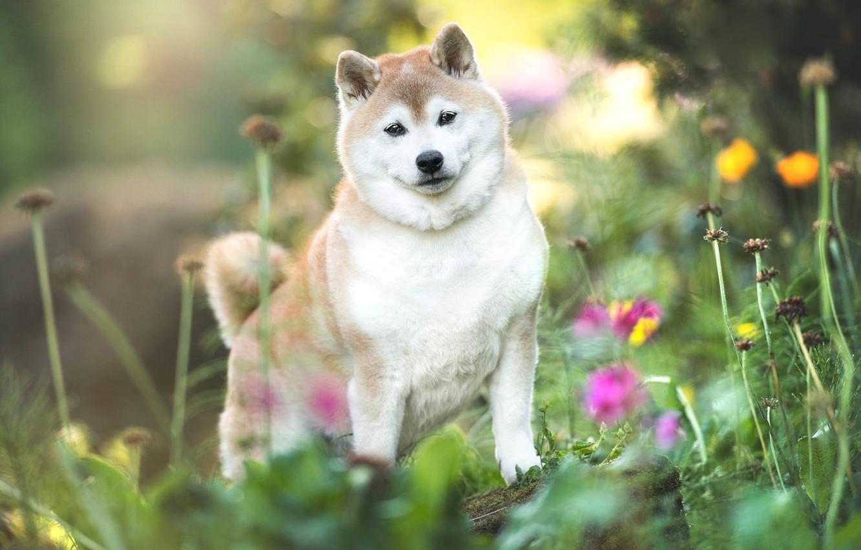 Photo wallpaper summer, grass, look, flowers, nature, pose, dog, puppy, bokeh, doggie, Shiba inu, Shiba