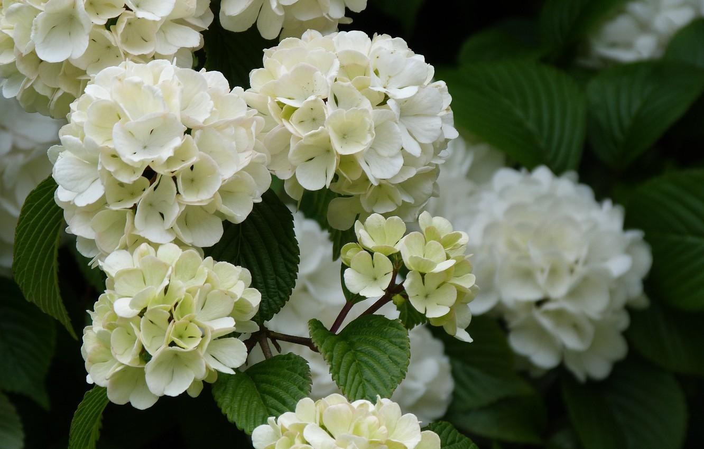 Wallpaper branch, flowering, Kalina images for desktop, section ...