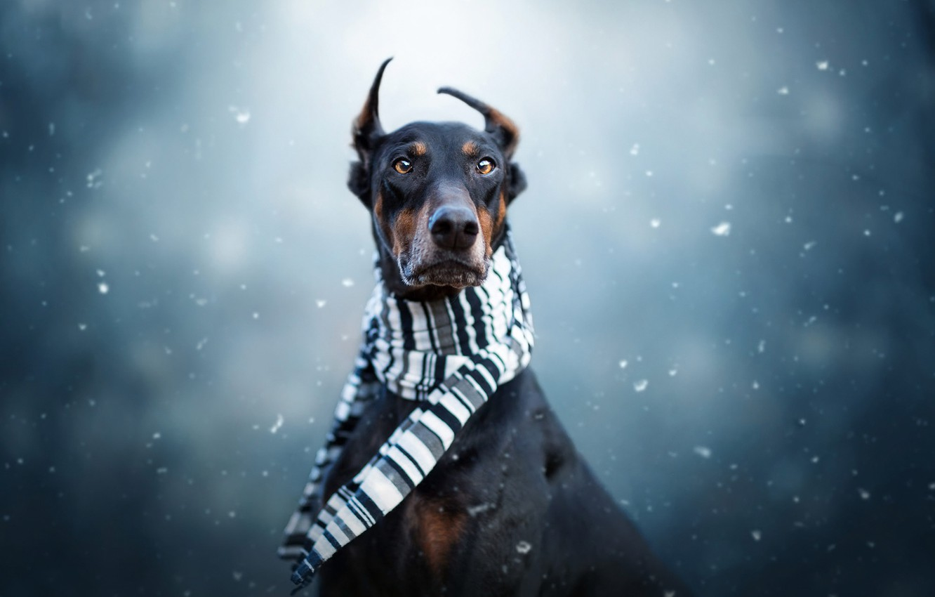 Photo wallpaper winter, look, face, snow, portrait, dog, scarf, black, serious, ears, snowfall, blue background, dog, Doberman