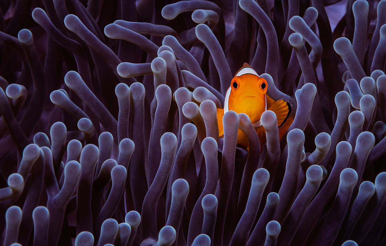 Photo wallpaper sea, fish, fish, purple, underwater world, anemones, fish-clown