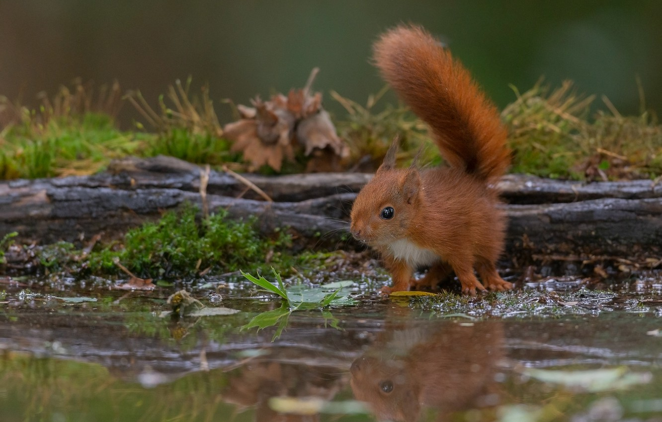 Photo wallpaper look, reflection, protein, red, log, pond, squirrel