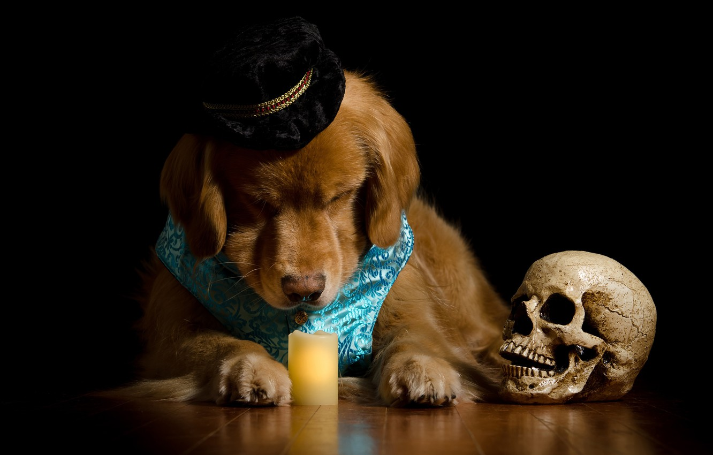 Photo wallpaper face, skull, portrait, candle, dog, hat, costume, black background, Golden, photoshoot, dog, vest, Retriever, composition, …