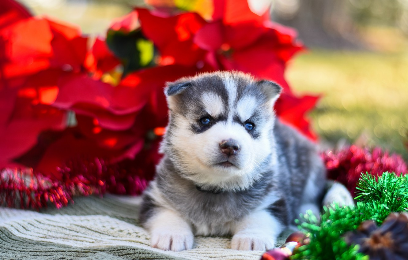 Photo wallpaper red, pose, background, dog, baby, puppy, fabric, lies, tinsel, face, husky, Siberian husky