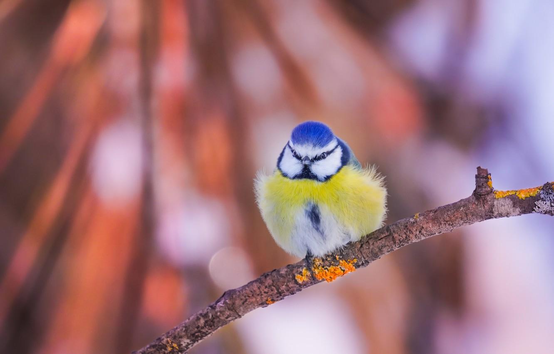 Photo wallpaper bird, branch, bokeh, tit, Blue tit