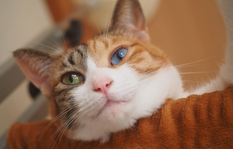 Photo wallpaper cat, look, muzzle, cat