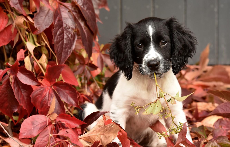 Wallpaper Autumn Leaves Puppy Doggie English Springer Spaniel Images For Desktop Section Sobaki Download