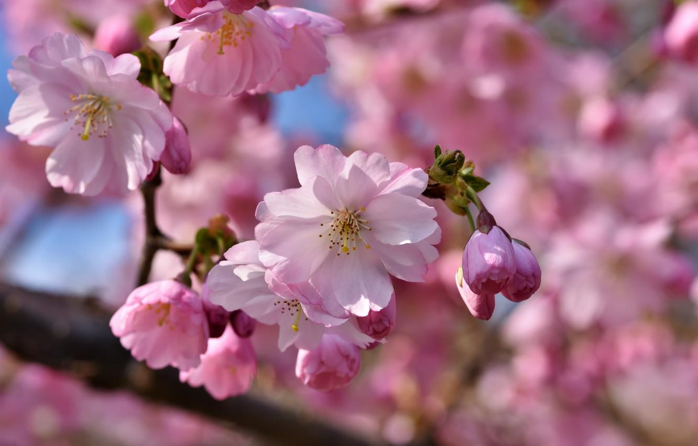 flowers flower apple tree tsvety tsvetok iablonia