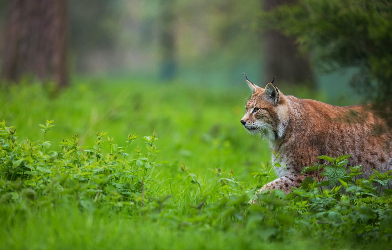 Photo wallpaper grass, look, face, nature, walk, lynx