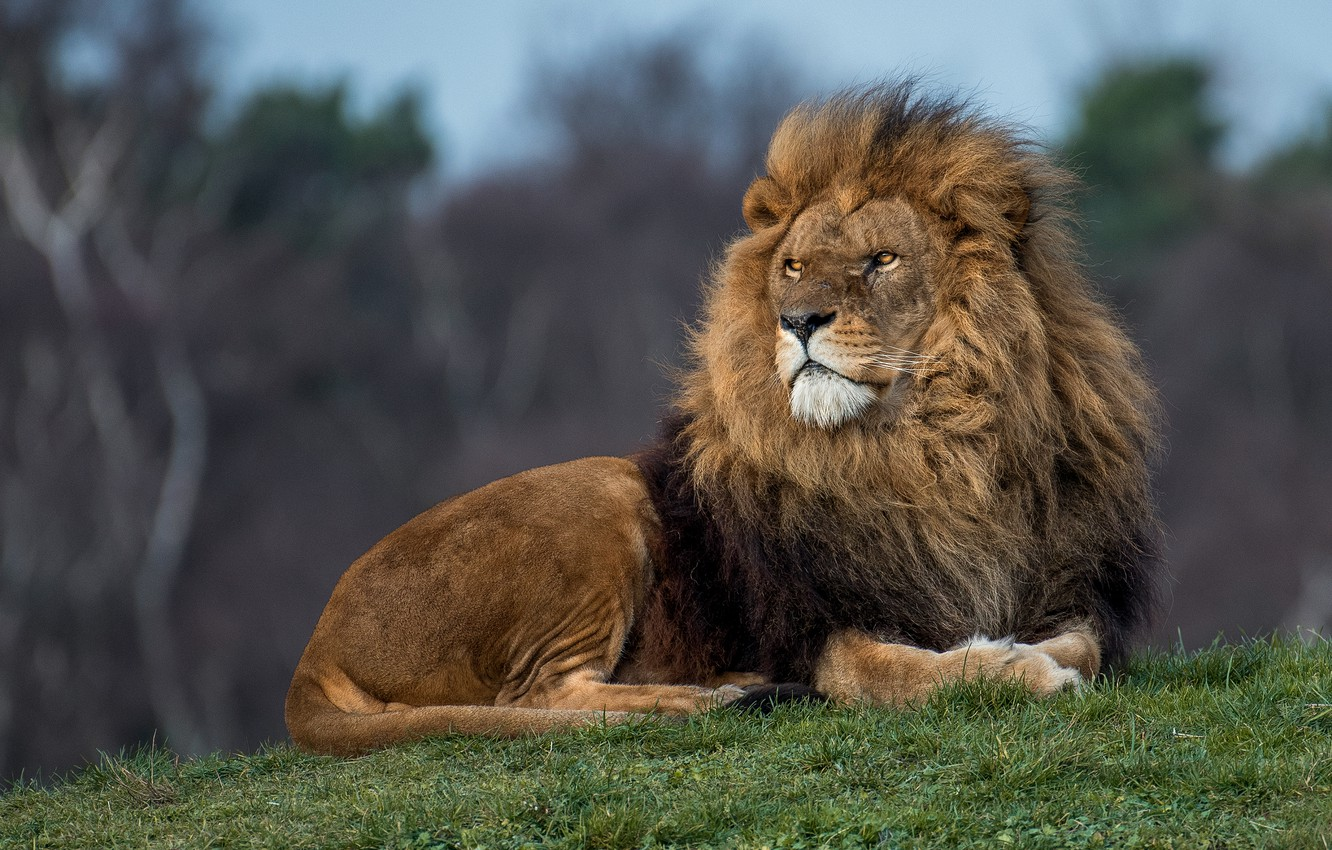 Photo wallpaper grass, look, face, nature, pose, Leo, hill, the king of beasts, lies
