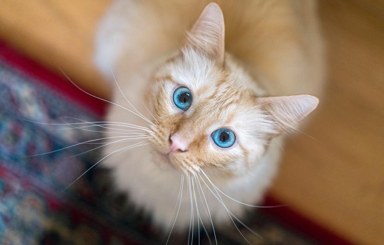 Photo wallpaper cat, cat, look, muzzle, blue eyes, bokeh, cat