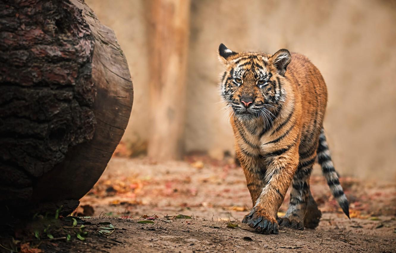 Photo wallpaper tiger, background, walk, log, tiger, tiger