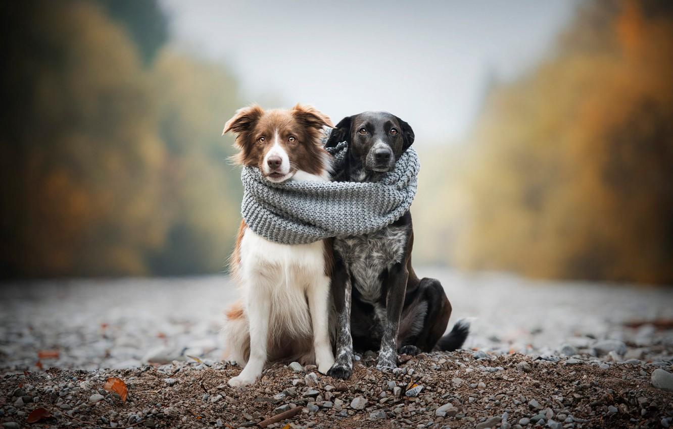 Photo wallpaper autumn, dogs, pebbles, comfort, stones, heat, together, shore, two, scarf, pair, a couple, Duo, friends, …