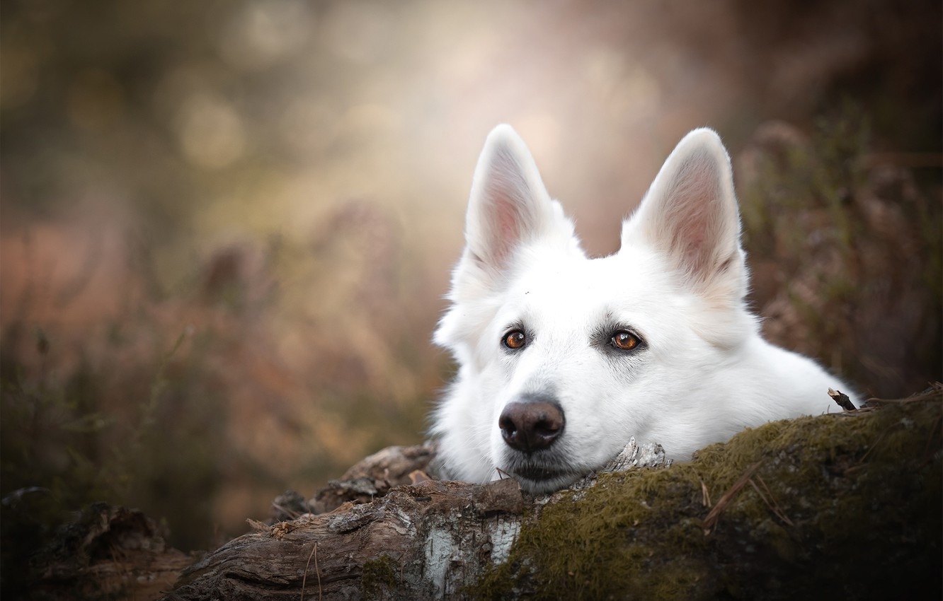 Photo wallpaper look, face, moss, portrait, dog, log, ears, bokeh, The white Swiss shepherd dog