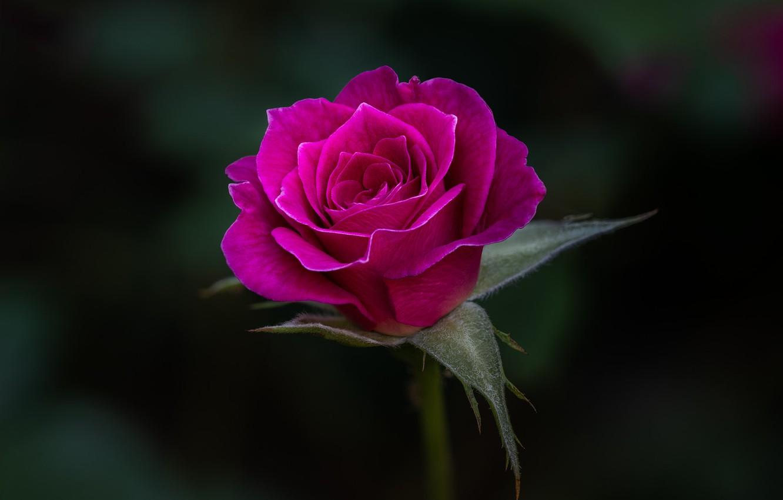 Photo wallpaper pink, rose, flowering
