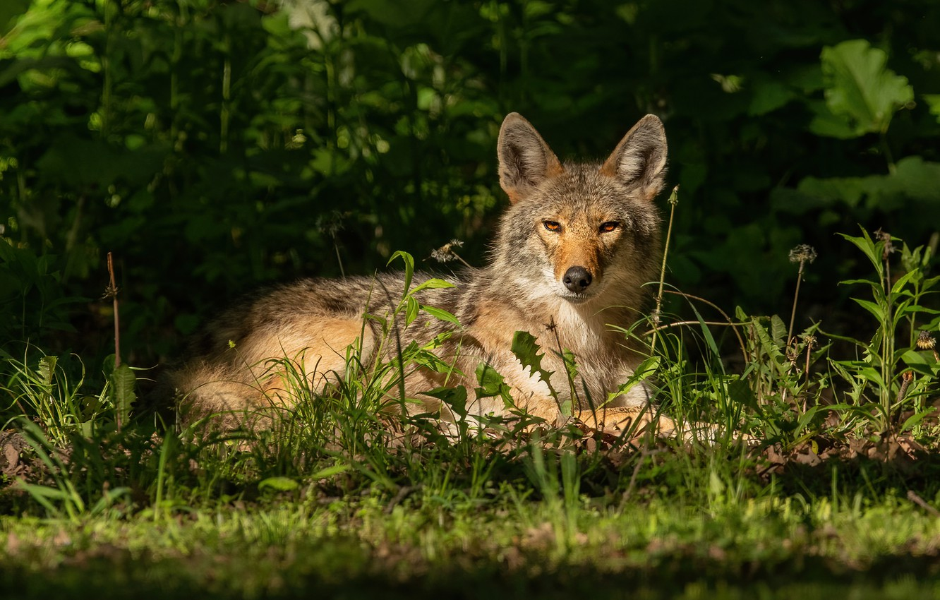 Photo wallpaper grass, look, face, stay, wolf, lies, the bushes, coyote, in the shadows