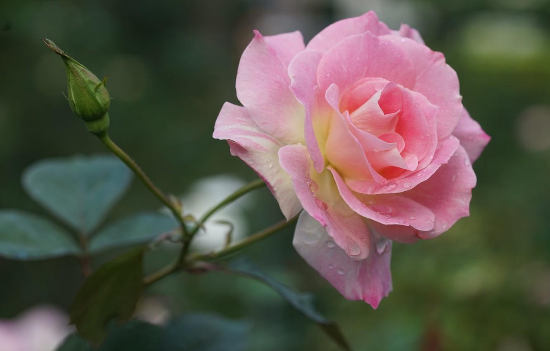 Photo wallpaper drops, pink, rose, petals, Bud, bokeh