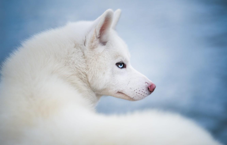 Photo wallpaper look, animal, dog, head, profile, husky, dog