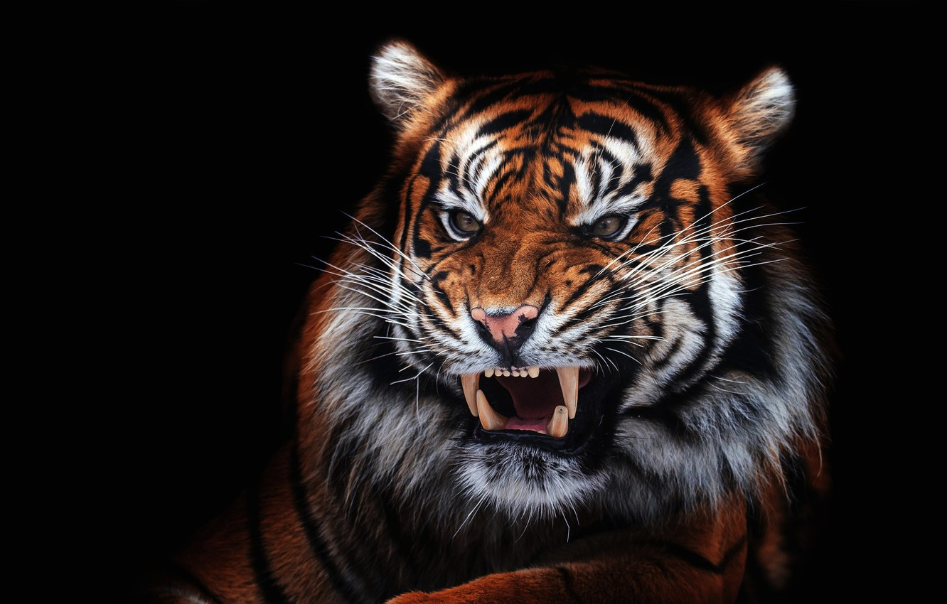 Photo wallpaper eyes, look, face, close-up, tiger, portrait, mouth, fangs, evil, black background, unhappy, aggression, wild cat, …