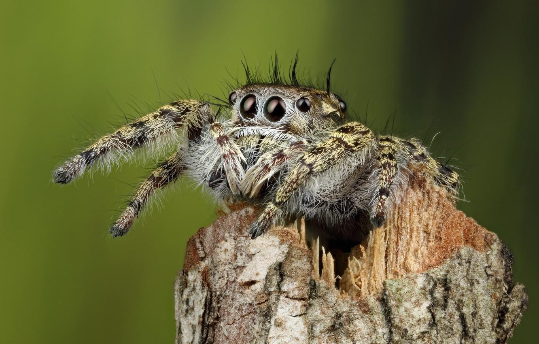 Photo wallpaper eyes, macro, pose, green, background, legs, spider, hairy, jumper, jumper, spider, bitch, sakunik, sliver, the …