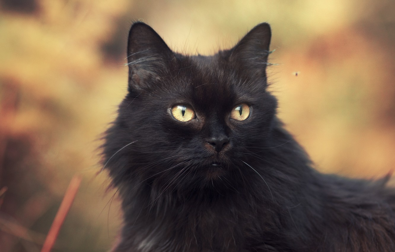 Photo wallpaper cat, look, black cat, look, black cat