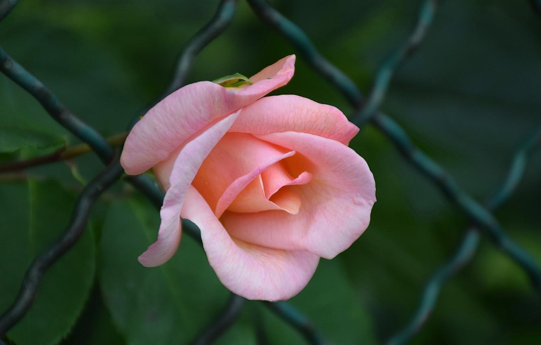 Photo wallpaper Rose, Rose, Pink rose, Pink rose