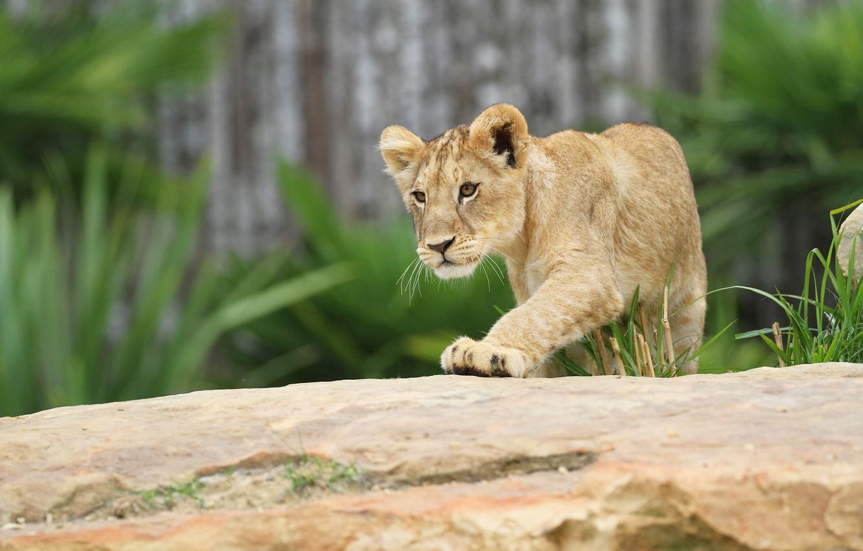 Photo wallpaper pose, background, Leo, cute, log, face, wild cat, lion, zoo, lion
