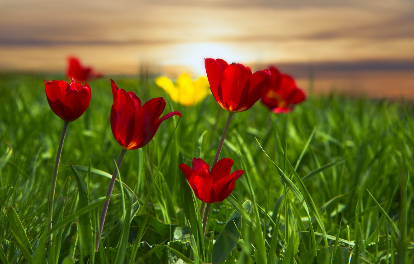 Photo wallpaper grass, meadow, tulips, red tulips