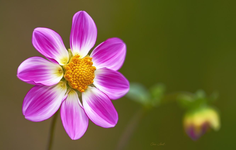 Photo wallpaper flower, background, pink, Dahlia