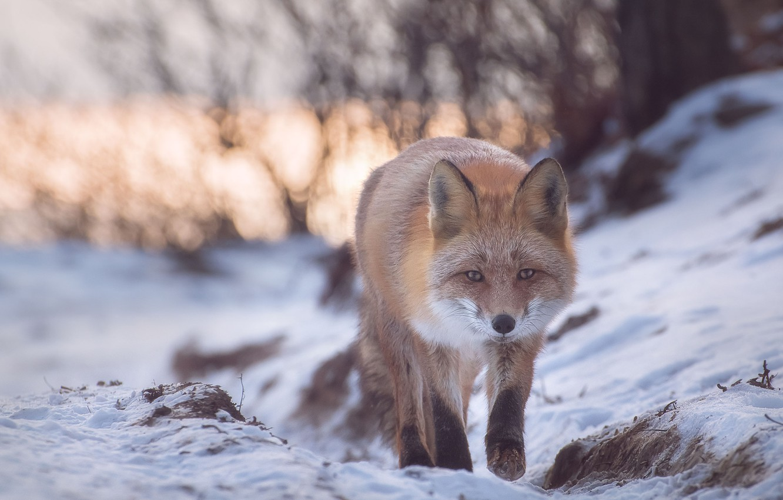 Photo wallpaper winter, snow, nature, animal, Fox, Fox