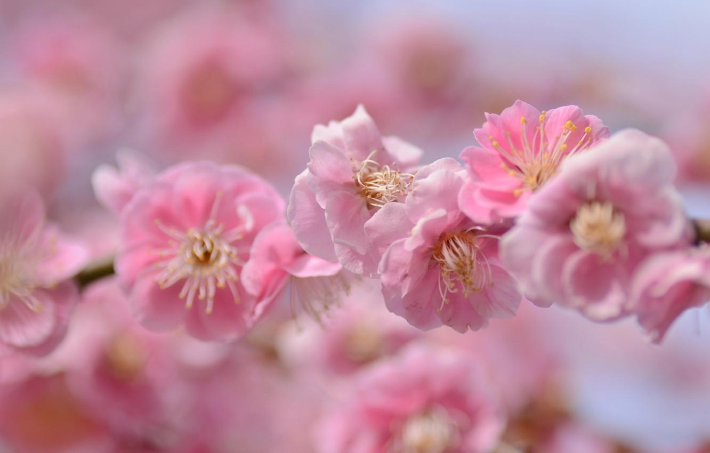 Photo wallpaper macro, cherry, branch, Sakura, flowering, flowers, bokeh